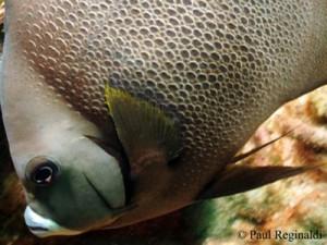Gray Anglefish