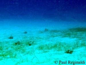 Conchs litter ocean floor