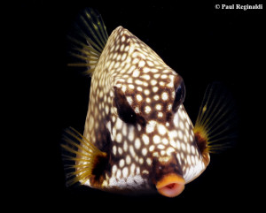 Branching Trunkfish