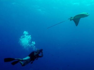 Filming Spotted Eagle Ray