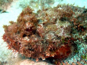 Spotted Scorpionfish Close-up