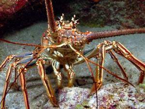 Lobster Close-up