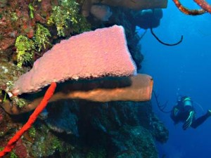 Tube Sponge & Diver on Wall Dive