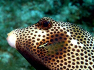 Trunk Fish Up Close