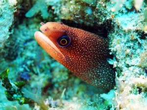 Brown Spotted Moray