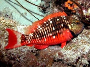 Female Stoplight Parrotfish