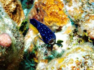 Spotted Blue Fish