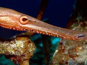 Trumpet Fish Close up