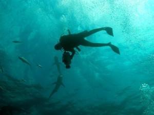 Diver Filming Sharks