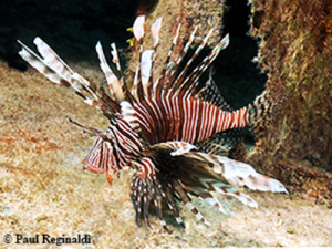 Lion Fish on Wreck of David Tucker