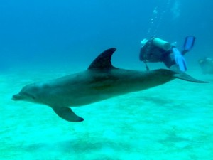 Dolphin and Diver