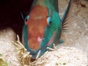 Parrotfish Dreaming at Night