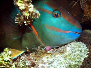 Sleeping Parrotfish at Night