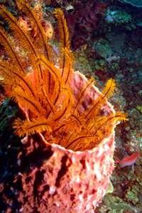 Tube Coral