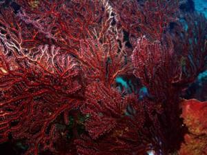 Gorgonians Polyp Detail
