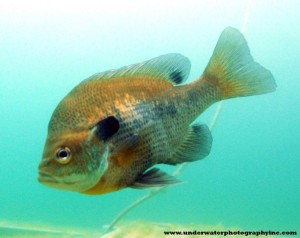 Preditor of the Deep